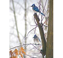 Blue Jays in Winter Photographic Print