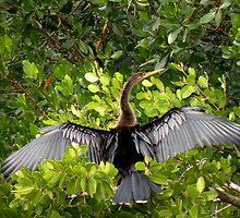 Anhinga's Silvery Wings by Rosalie Scanlon