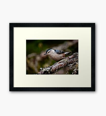 White Breasted Nuthatch - Ottawa, Ontario Framed Print