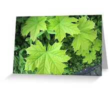 Leaves of a young maple tree on the background of a bush Greeting Card