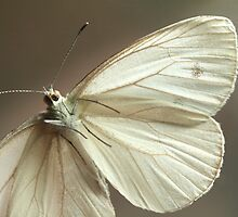 Monochromatic Moth by Belinda Chambers