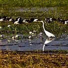 Egret and Magpie Geese, Kakadu National Park, Northern Territory.  by Bill  Russo