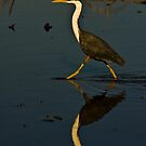 Pied Heron, Kakadu National Park, Northern Territory.  by Bill  Russo