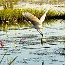 Egret in flight, Kakadu National Park, Northern Territory.  by Bill  Russo