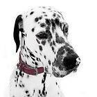 Dalmatian Julius snowkissed  by The Creative Minds