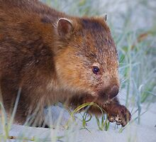 Wombat by Bob Wickham