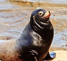 Sea Lion Sunning by bengraham