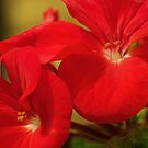 Geranium by Alicia  Liliana