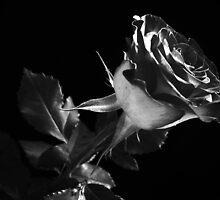 One Lovely  Rose. by Vitta