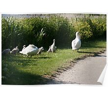 Swans with cygnets Poster