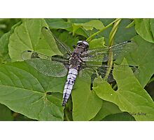 male Scarce Chaser dragonfly Photographic Print