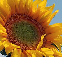 Sunflower - NSW by CasPhotography