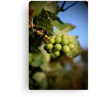 Young Grapes Canvas Print