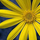 Yellow Bush Daisy by Margaret Barry