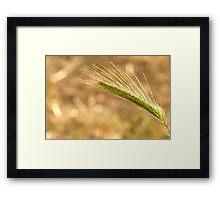 Barley grass  Framed Print