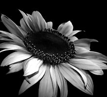 B&W Sunflower by Luke Stephensen