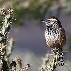 Cactus Wren by Daniel J. McCauley IV