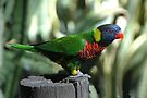 lorikeet by Margaret  Shark