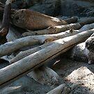 Orcas Island Driftwood by rferrisx
