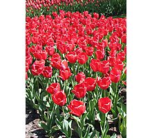 Red Army - Keukenhof Tulips Photographic Print