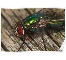 Lucilia sericata (Green Blowfly) Poster