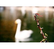 dragonfly and swan in a lake Photographic Print