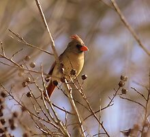 Friendly Female Cardinal by rasnidreamer
