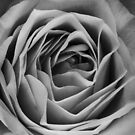 How deep is your love, BW rose by Kornrawiee