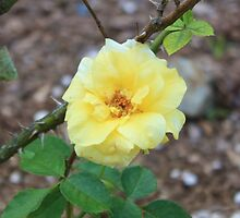 YELLOW ROSE by William Vazquez
