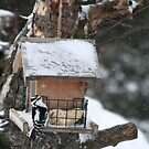 WoodPecker Braving The Snow by KatsEye
