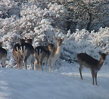 Fallow deer in the snow 5 by DutchLumix