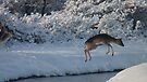 Jumping Fallow deer in the snow 2 by DutchLumix