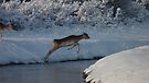 Jumping Fallow deer in the snow 3 by DutchLumix