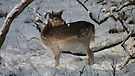 Fallow deer in the snow 10 by DutchLumix