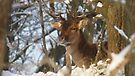 Fallow deer in the snow 12  by DutchLumix