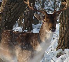 Fallow deer in the snow 14 by DutchLumix