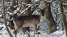 Fallow deer in the snow 15 by DutchLumix