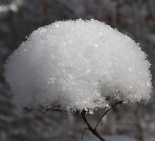 Real Snowball bush by Forrest Tainio