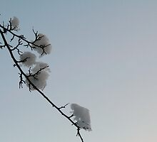 Snow blossom by ClaireWroe