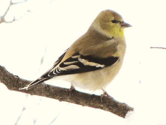 Goldfinch in Winter by lorilee