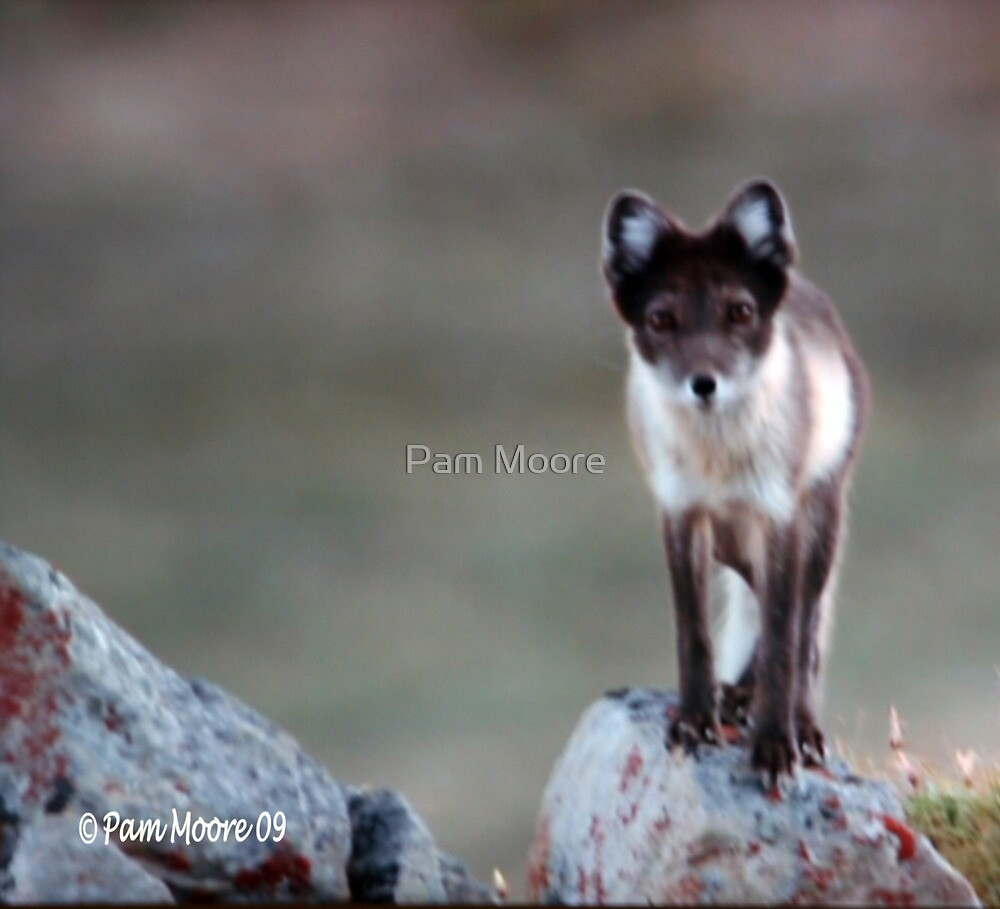 An Artic Fox by Pam Moore