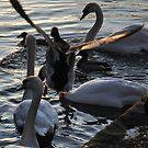 Duck in Flight by KChisnall