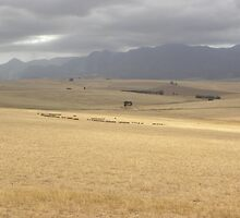 Sheep grazing safely by phillipnewmarch