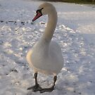 Snow Swan by KChisnall