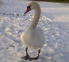 Snow Swan by KChisnall