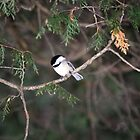 The Chickadee by deb cole