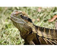 Eastern Water Dragon enjoying the feast after lawn mowing Photographic Print