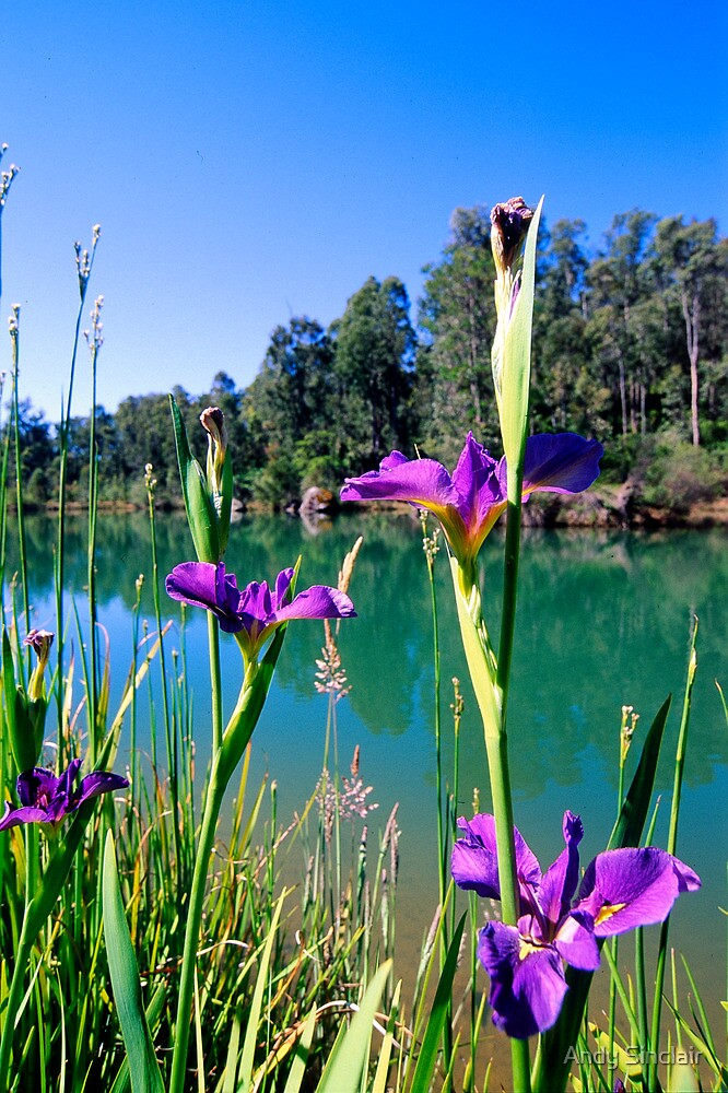 Iris - Roslyn Estate, Waroona by Andy Sinclair