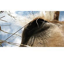 Haylashes - A Hungry Buck   Photographic Print