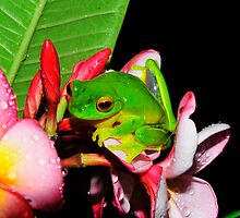 frog in frangipani by Carle Parkhill